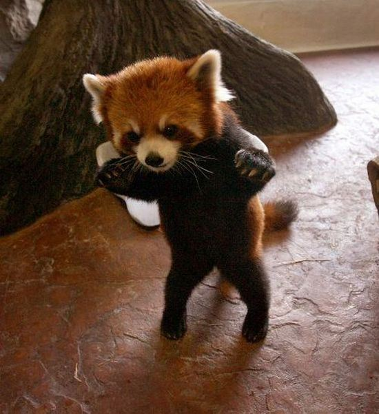 Red Panda Standing with arms outstretched